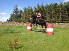 Hoys Potential 13. 2hh Welsh C Shp/whp/m&m