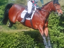 17. 2HH, 13 year old, Bay, Gelding