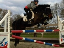 Show Jumpers horse - 13 yrs 1 mth 14.2 hh Dark Bay - West Sussex