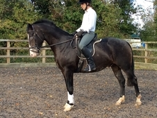Striking 15. 3hh 4 Yr Old Gelding