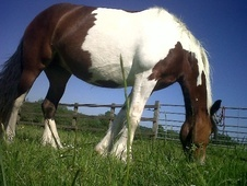 Cobs horse - 6 yrs 15.1 hh Skewbald - West Midlands