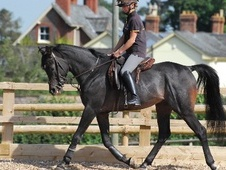 Arabs horse - 6 yrs 15.2 hh Dark Bay - Gloucestershire