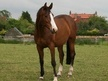 All Rounder horse - 13 yrs 16.0 hh Bright Bay - Lincolnshire