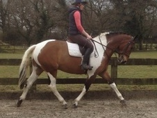 All Rounder horse - 5 yrs 2 mths 16.0 hh Skewbald - West Sussex