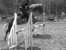 Pony Club Ponies horse - 15 yrs 14.1 hh Chestnut - Gloucestershire