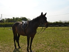 All Rounder horse - 16 yrs 16.0 hh Bay - Norfolk