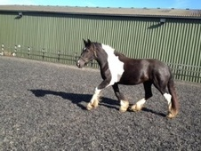 Coloured horse - 5 yrs 16.1 hh Piebald - Cheshire