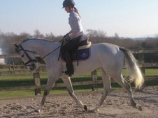 Pretty 16.1hh 5yr Grey mare