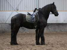 Handsome Friesian Gelding For Sale
