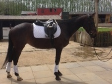 Potential young sports horses horse - 5 yrs 11 mths 15.2 hh Bay -...