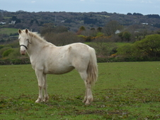 Smart cream mare with amber eyes - has bred lovely foals