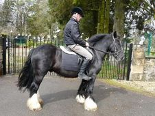 Cobs horse - 5 yrs 14.1 hh Black - Lanarkshire
