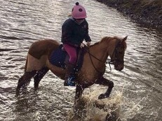 Welsh section B Pony Gelded