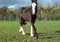 Young Stock  horse - 2 yrs 17.0 hh Black - Lincolnshire
