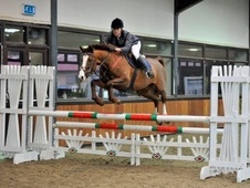 All Rounder horse - 8 yrs 15.1 hh Liver Chestnut - Avon