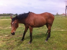 All Rounder horse - 18 yrs 4 mths 16.1 hh Bay - Essex