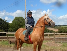 Smart palomino licensed welsh cob section d stallion with a wonde...