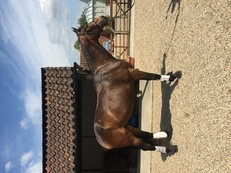 3 year old gelding by Treliver Decanter (Dimagio)