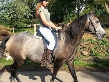 Beautiful 3/4 Spanish X 1/4 Tb Mare , 4 Years Old