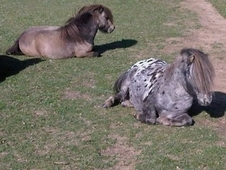 2 British Miniature Stallions For Sale