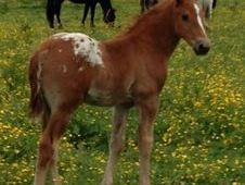 VERY HANDSOME BIG COLT FOAL TO MATURE TO 16. HH