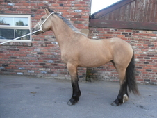 Golden Dun Filly To Make 15. 2hh
