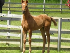 Johnson (Jazz) x Freestyle (Florestan) dressage filly foal