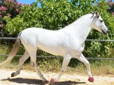 Beautiful pre andalusian gelding