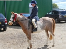 Twiggy, 12. 2h, Welsh Section B, 20 Years, Mare - Buckinghamshire