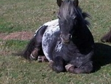 British Miniature Stallion For Sale