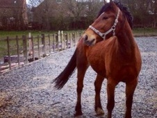 Young Stock  horse - 5 yrs 3 mths 15.2 hh Bay - Nottinghamshire