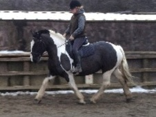Cobs horse - 7 yrs 15.1 hh Piebald - South Yorkshire