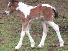 Coloured horse - 2 mths 14.0 hh Piebald - Oxfordshire