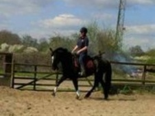 All Rounder horse - 10 yrs 5 mths 16.0 hh Black - London