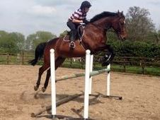 Belgian Warmblood Allrounder Bargain Price!