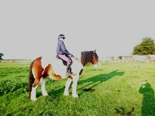 15. 2hh Type Hard To Find Heavy Weight Coloured Cob Gelding