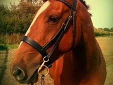 Fun Lovable Cheeky Small Horse For Sale
