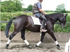 All Rounder horse - 13 yrs 16.2 hh Black - Derbyshire