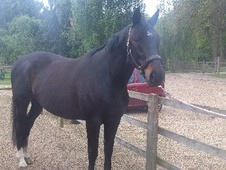 All Rounder horse - 14 yrs 9 mths 16.3 hh Dark Bay - Buckinghamshire