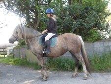 Pretty palomino welsh cob section d mare with a lovely temperament