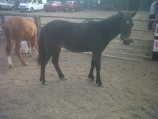 Young Stock  horse - 9 mths 14.2 hh Bay - South Yorkshire