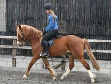 All Rounder horse - 8 yrs 5 mths 14.2 hh Chestnut - Gloucestershire