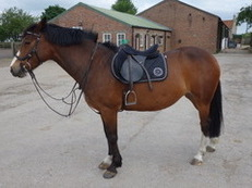 Sport Pony Mare 14.2 Owner Emigrating Super Jumper