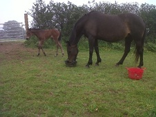 Broodmares horse - 15 yrs 2 mths 16.0 hh Dark Bay - Cornwall