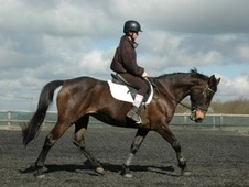 All Rounder horse - 15 yrs 14.3 hh Bay - Kent