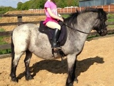 All Rounder horse - 6 yrs 6 mths 12.0 hh Iron Grey - Kent