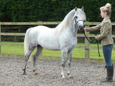 Quality Pony Stallion For Sale
