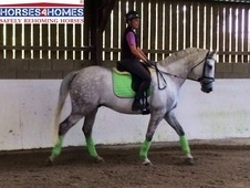 Mossie, 16, 2h, Irish Sports Horse X, 10 Years, Gelding, Hertford...