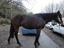 All Rounder horse - 5 yrs 16.0 hh Bay - Gwent