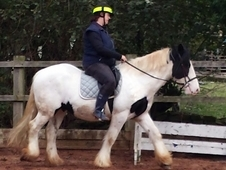 15hh Coloured Cob Very Safe Confidence Giver